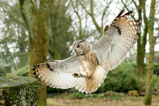 Siberian Eagle Owl ♂ Bubo bubo yenneensis