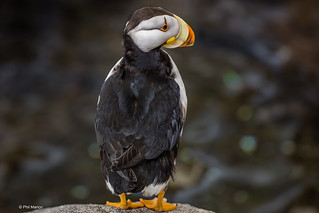 Horned puffin - Alaska | by Phil Marion (176 million views - THANKS)