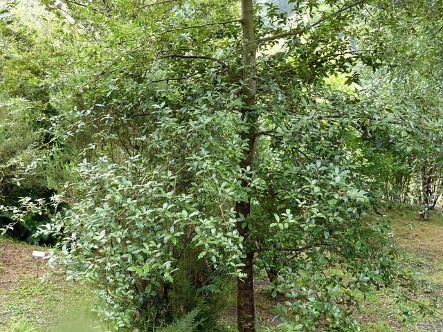 Quercus laurina Humb. & Bonpl. 1809 (FAGACEAE)