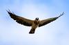 Busardo Chapulinero / Swainson's Hawk by vic_206