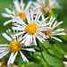 Panicled Aster - Photo (c) Tony Frates, some rights reserved (CC BY-NC-SA)