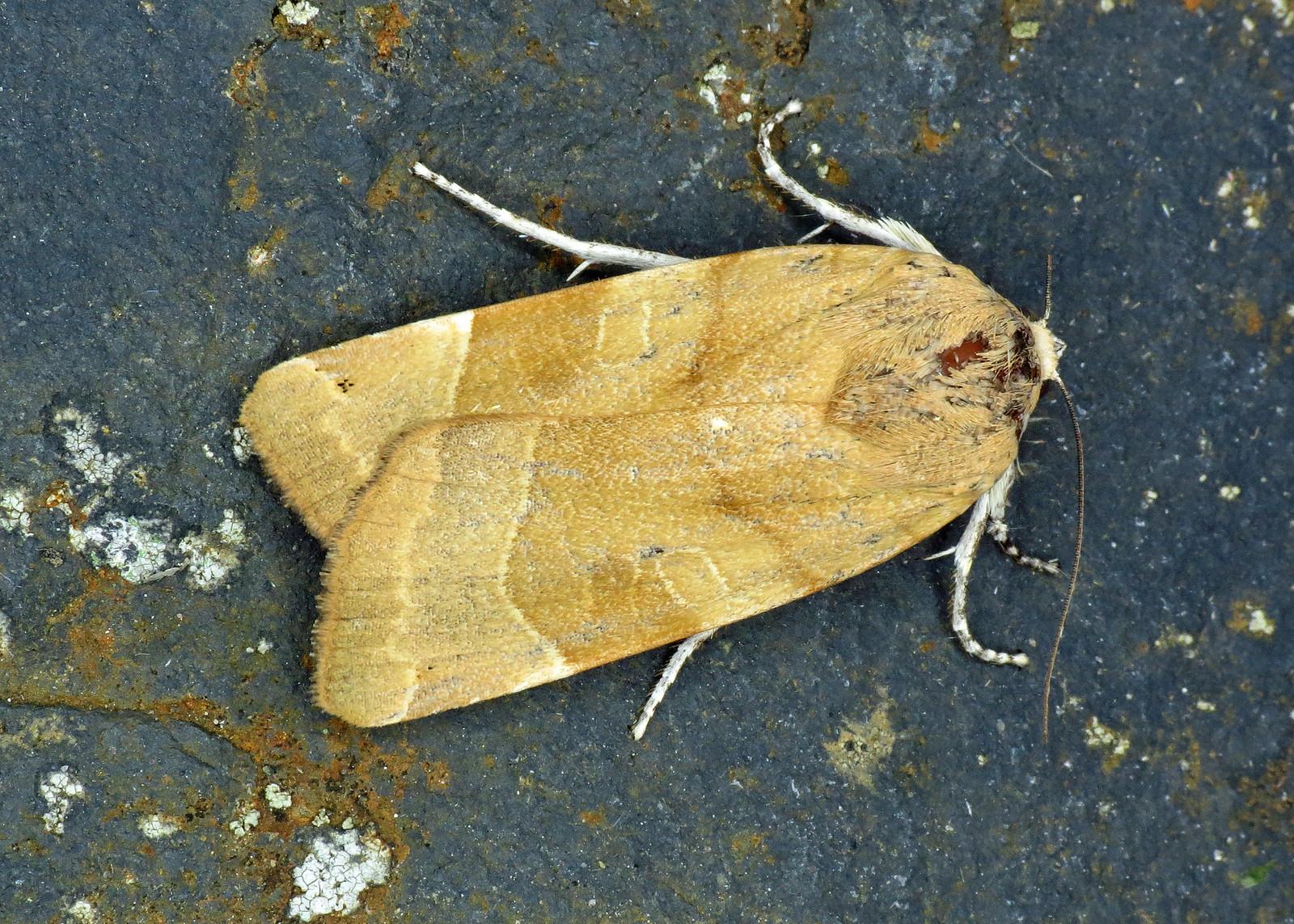 2110 Broad-bordered Yellow Underwing - Noctua fimbriata