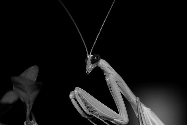 Peygamber Devesi (Mantis Religiosa)