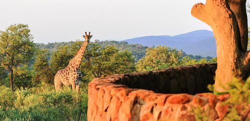southafrica 66 giraffe mpumalanga kudu lydenburg site66 kuduranch kuduprivatenaturereserve kudugameranch