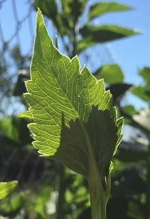 Leaf veins | by bobsee