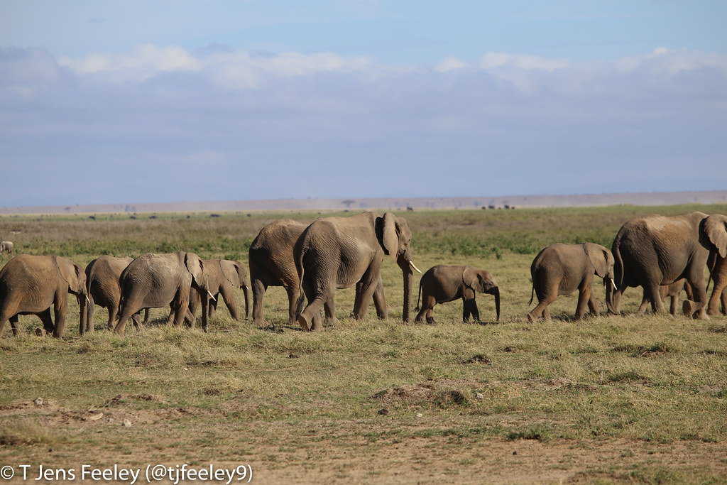 A Parade of Elephants | tjfeeley9 | Flickr