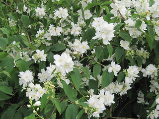 Philadelphus 'Burfordiensis' | by wallygrom