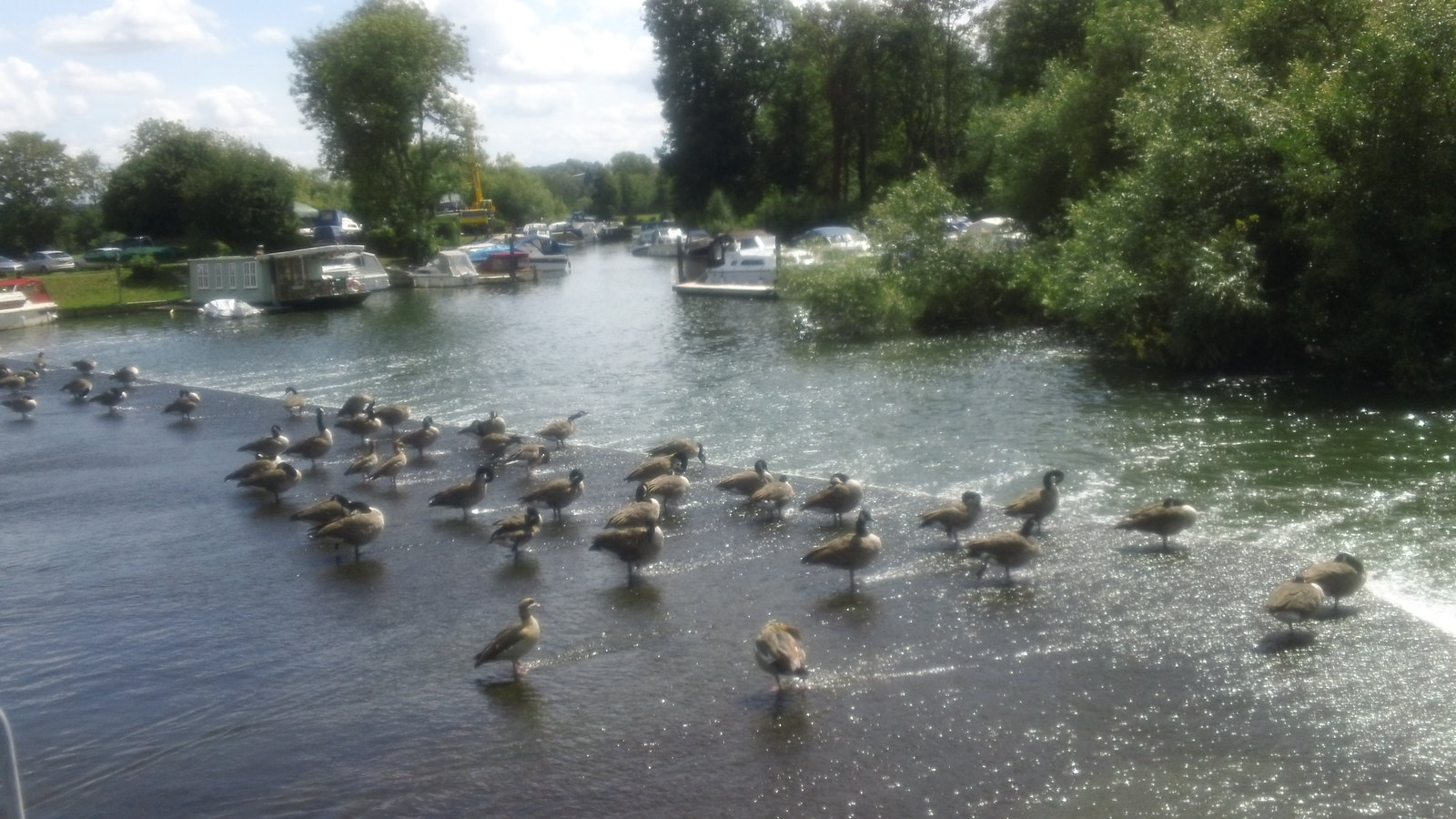 Canada geese ... ... on Hambleden Weir
