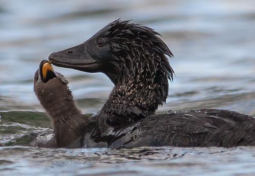 musk duck (Biziura lobata)-2-4 | by rawshorty