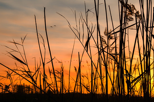 Birds, Reed And A Gnat At Sundown (Find The Gnat)