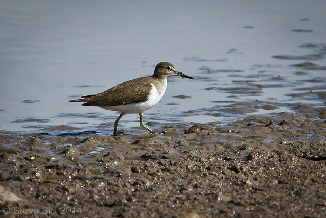 Common Sandpiper 002