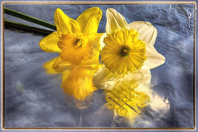 Daffodils flower  aluminum foil