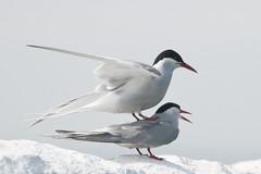 Noordse Stern-Arctic Tern