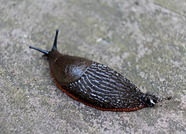 Black Garden Slug (Arion Ater)