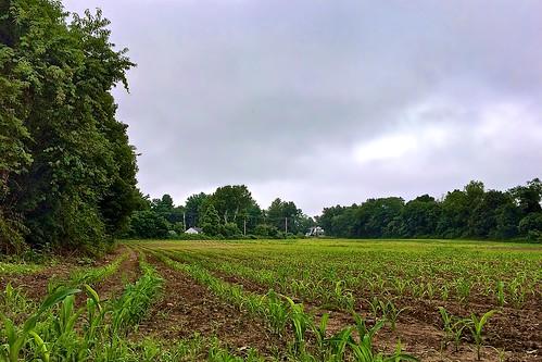 field corn farm large 0714 eastbridgewaterma iphone5sbackcamera412mmf22 iphone36530