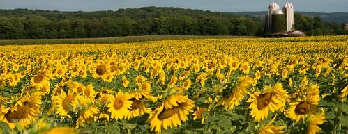 flowers newjersey farm nj sunflower augusta sunflowermaze nikond800 nikonnikkor80400mmf4556