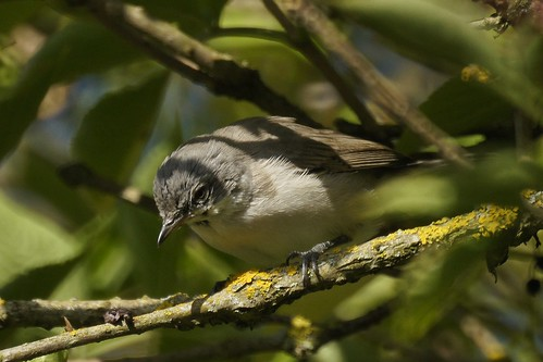 Lesser whitethroat        (Sylvia curruca) | by manum.net - Photos from Manum Gård