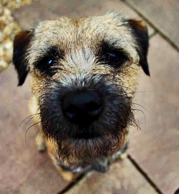 Boris my border terrier