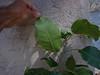 Solandra grandiflora-03