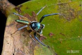 Jumping spider (Phintella sp.) - DSC_4034