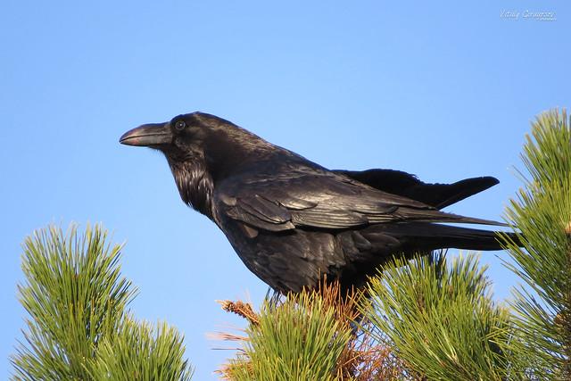 Common raven (Corvus corax) / Ворон.