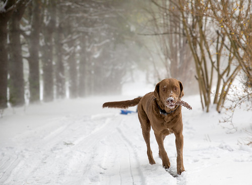 Chesapeake Bay Retriever -9