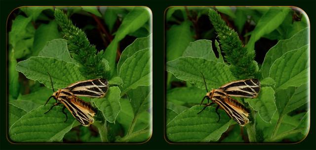 Apantesis Phalerata, Harnessed Tiger Moth 1 - Cross-eye 3D