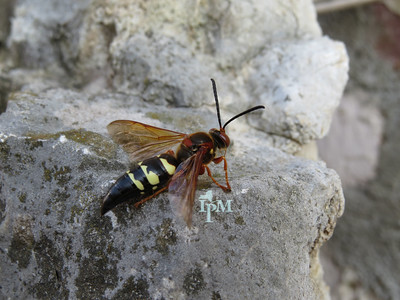 a black and yellow wasp with reddish wings and red eyes sitting on a rock