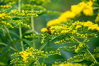 08272 Honey Bee on Smooth Goldenrod | by rockerBOO