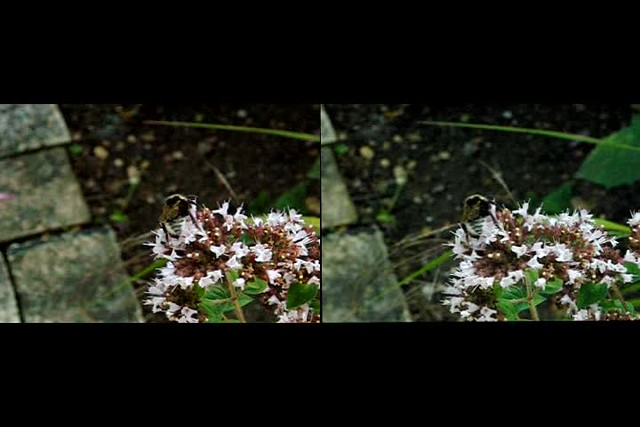 Bumble Bee and Hoverfly - high speed stereo movie clip - 3d crossview