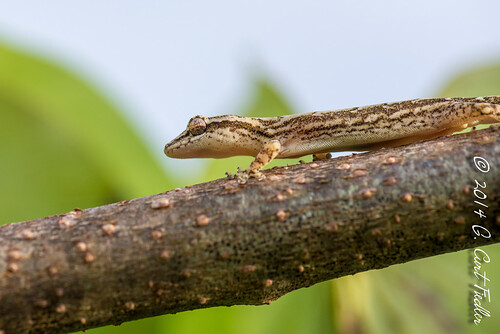 usa animal reptile lizard gecko guam guahan mangilao idunknown sunrisevilla mourninggecko territoryofguam lepidodactyluslugubris latteheights 2014365dayproject gualiek