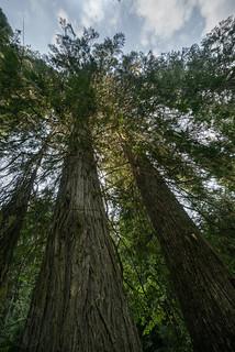 Mighty cedars