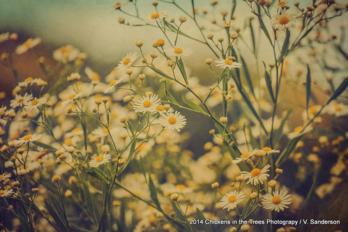 flowers wild painterly nature floral daisies landscape bokeh meadow 1914 sanctuary textured layered hss fleabane fleabanedaisy texturized vintageeffect ohiowildflowers bokehlicious sliderssunday