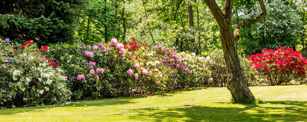 Rhododendron in the garden of Køge Gård - Zealand,Denmark