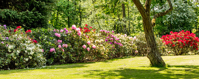 Rhododendron in the garden of Køge Gård - Zealand,Denmark