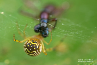 Comb-footed spider (Theridion sp.) - DSC_4584