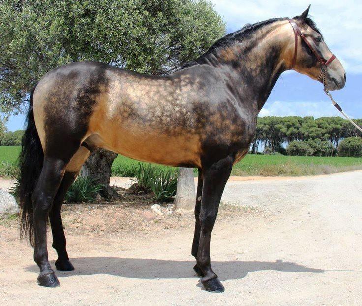 Horse Dappled Sooty Buckskin Stallion