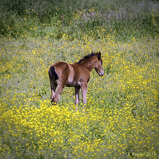 Pony in a Pasture