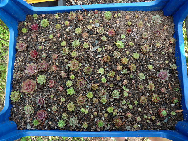 Sempervivum Semis 2013 /seedling