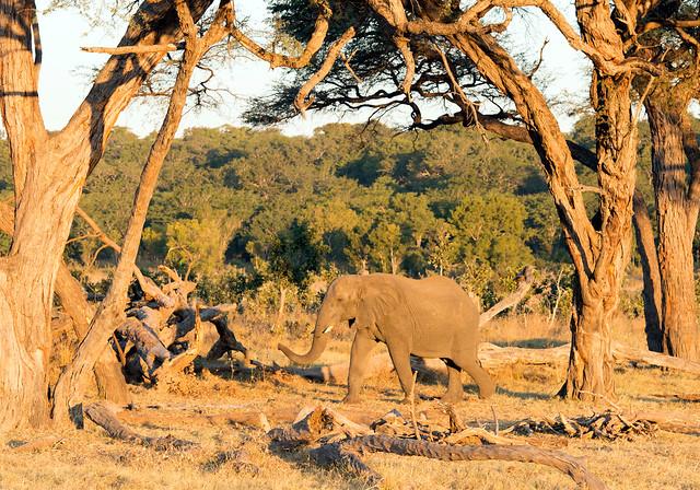 Elephant, Loxodonta africana, Hwange National Park, Zimbabwe