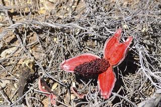 Fallen Saguaro Seeds | by desertdutchman