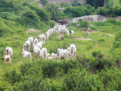 africa people photography cattle culture photojournalism nigeria socialmedia langalanga grazingcattle ayotunde nasarawastate jujufilms jujufilmstv nigerianstreetauthor ogbeniayotunde