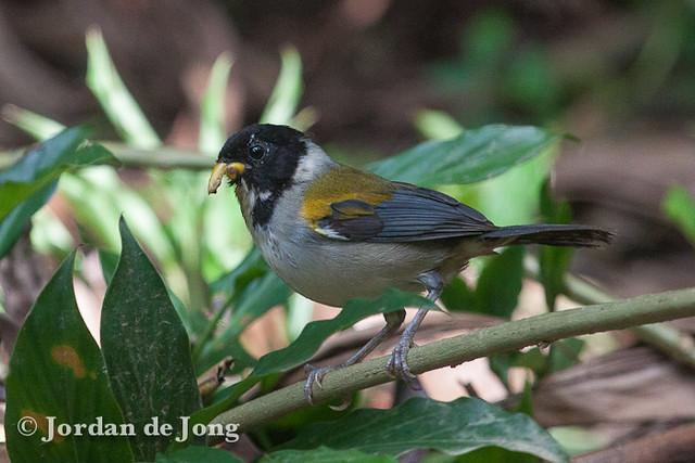 Golden-winged Sparrow, Arremon taciturnus with damaged beak-2.jpg