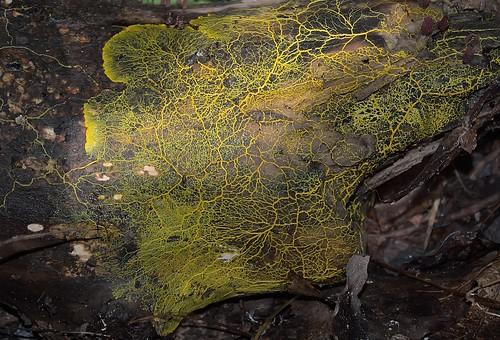mold slime plasmodium