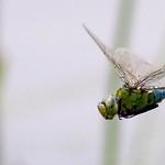 Emperor Dragon Fly in flight [Explored]