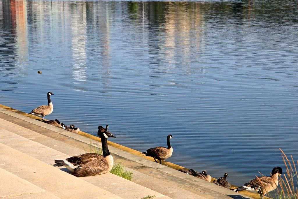 Newtown geese 859