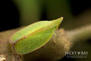 Planthopper (Tropiduchidae) - DSC_9335