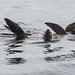 Flickr photo 'Three Sea Lions Basking with fins raised' by: mikebaird.