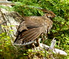 Sooty Grouse Female (Dendragapus fuliginosus) by WilletBeThere