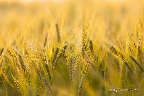 barley japan sunrise dew shimanepref